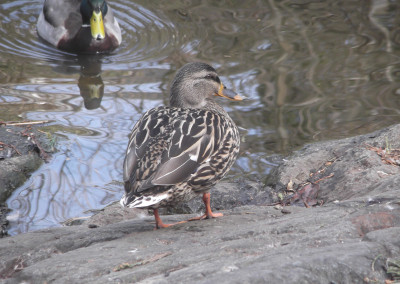 PhotoClub_Ducks